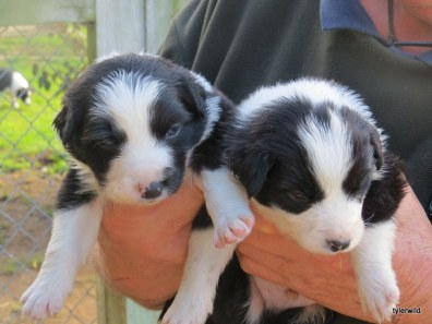 Mollys boys 3wks old