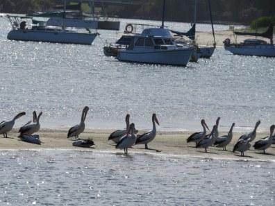 local pelicans