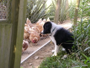 watching the chooks