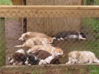 big dogs sleep outside