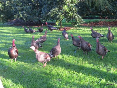 our turkey family