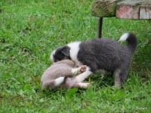 attack pups