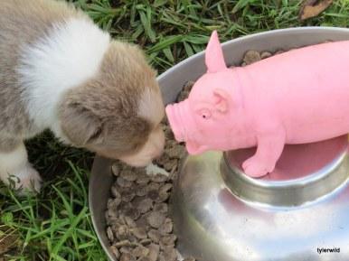 pup meets pig!
