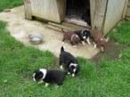 Molly pups