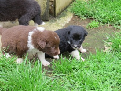 2 of the available pups