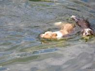 Georgie and Gypsy in a swim race