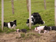 WATCHING THE PIGLETS